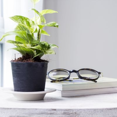 Money Plant Benefits At Home