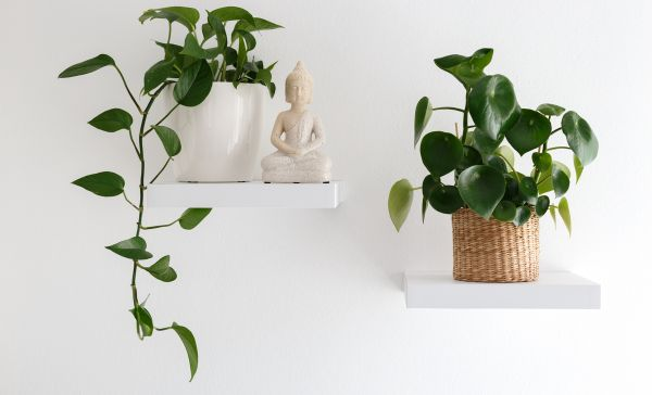 Money plant vastu