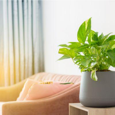 The Vastu Of Money Plant In The Living Room